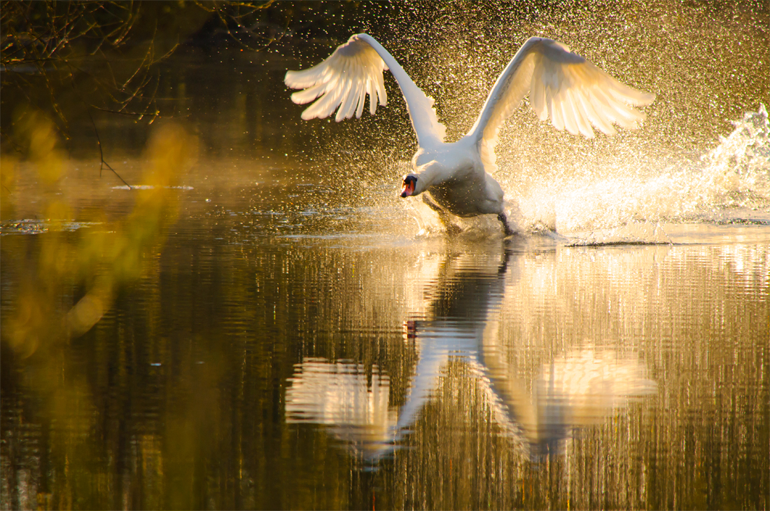 A swan takes to the air at Lower Bruckland Nature Reserve, Devon. Photography by Kerrie Ann Gardner.