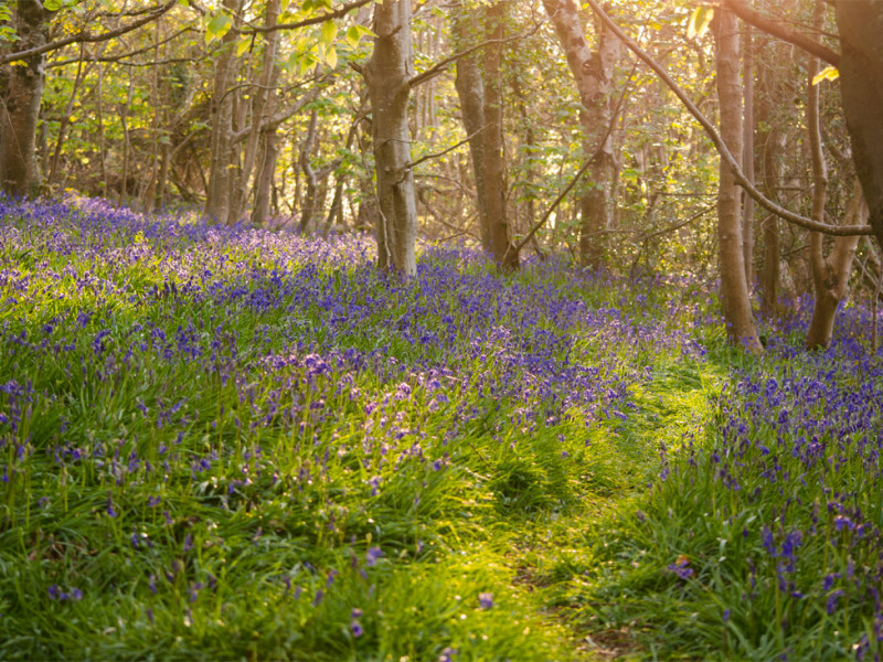 Bluebell path.