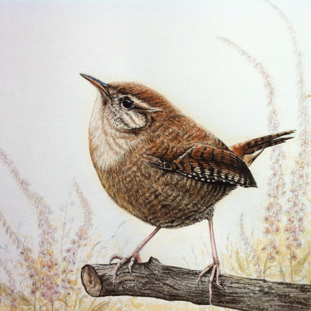 Illustraion of a wren in watercolour by Kerrie Ann Gardner