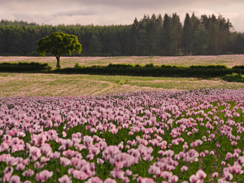 Dorset opium poppies