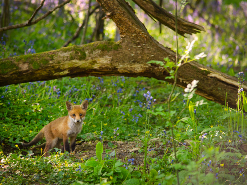 Fox cub in a Devon woodland by Kerrie Ann Gardner.